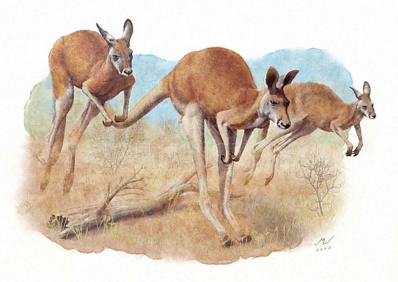 Click image for larger version.  Name:Kangaroos.jpg Views:24 Size:128.5 KB ID:100274