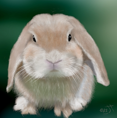 Name:  Lop eared rabbitAR (1).jpg