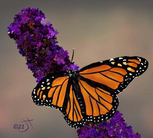 Name:  Monarch on BuddlieaAR.jpg Views: 92 Size:  42.9 KB
