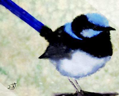 Name:  Blue Wren.jpg Views: 49 Size:  21.4 KB