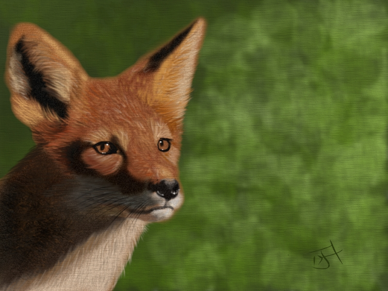 Name:  Red Fox.jpg