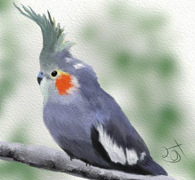 Name:  CockatielAR.jpg Views: 100 Size:  35.3 KB