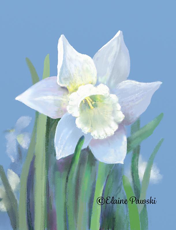 Name:  white daffodil_sm.jpeg Views: 300 Size:  345.4 KB